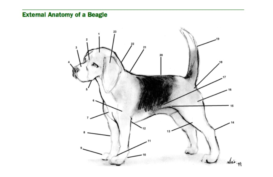 Does your dog have what it takes to be a part of the Beagle Brigade ...